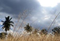 ερχόμενη χρυσή βροχή πεδίων Στοκ φωτογραφίες με δικαίωμα ελεύθερης χρήσης