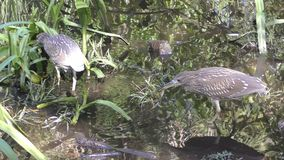 Ερωδιοί στα everglades απόθεμα βίντεο