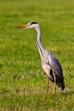 ερωδιός λιβαδιών πουλιών Στοκ Εικόνες