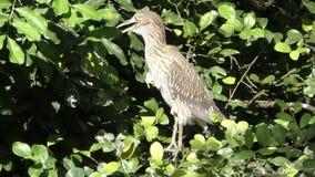 Ερωδιός στο Everglades φιλμ μικρού μήκους