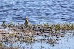 Ερωδιός Squacco, Ardeola ralloides, που ψάχνει τα τρόφιμα, εθνικό πάρκο Chobe, Μποτσουάνα Στοκ Εικόνες