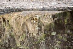 Ερωδιός Squacco, Ardeola ralloides, που ψάχνει τα τρόφιμα, εθνικό πάρκο Chobe, Μποτσουάνα Στοκ Εικόνα
