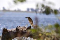 Ερωδιός Squacco, Ardeola ralloides, που ψάχνει τα τρόφιμα, εθνικό πάρκο Chobe, Μποτσουάνα Στοκ Φωτογραφία