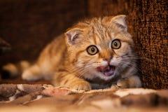 Ερωτεύσιμο σκωτσέζικο παιχνίδι γατών/γατακιών πτυχών Στοκ Φωτογραφίες
