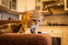 Ερωτεύσιμο σκωτσέζικο παιχνίδι γατών/γατακιών πτυχών Στοκ Εικόνες