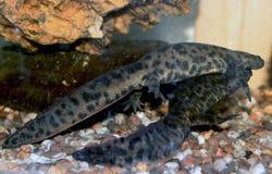 Ερωτοτροπία του ιβηρικού newt στοκ φωτογραφία