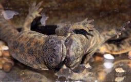 Ερωτοτροπία του ιβηρικού newt στοκ εικόνες