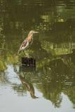 Ερωδιός λιμνών στοκ φωτογραφίες με δικαίωμα ελεύθερης χρήσης