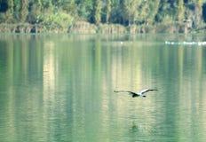 Ερωδιός, μύγα, λίμνη, φύση Στοκ Εικόνα