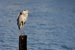 ερωδιός πουλιών Στοκ φωτογραφίες με δικαίωμα ελεύθερης χρήσης