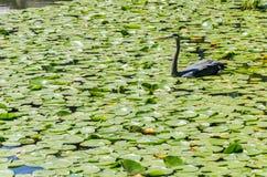Ερωδιός που αλιεύει σε μια λίμνη Στοκ Εικόνα