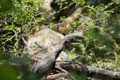 Ερωδιός που κρύβεται πίσω από τα δέντρα Στοκ εικόνα με δικαίωμα ελεύθερης χρήσης
