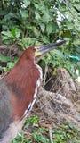 Ερωδιός τιγρών, πουλί lienatum Trigrisoma Στοκ εικόνες με δικαίωμα ελεύθερης χρήσης
