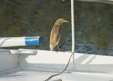 Ερωδιός Squacco που σκαρφαλώνει σε μια ξύλινη βάρκα Στοκ Φωτογραφίες