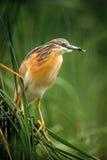 Ερωδιός Squacco, Ardeola ralloides, κίτρινο πουλί νερού στον πράσινο βιότοπο φύσης χλόης νερού φύσης, Ουγγαρία Στοκ Φωτογραφίες