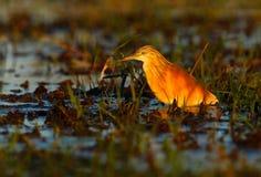 Ερωδιός Squacco, Ardeola ralloides, στο νερό, ανοικτό πορτοκαλί πουλί στο βιότοπο φύσης, εθνικό πάρκο Chobe, Μποτσουάνα, Αφρική Στοκ φωτογραφία με δικαίωμα ελεύθερης χρήσης