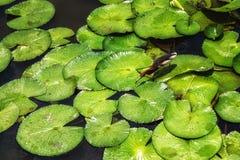 Ερωδιός & x28 λιμνών Javan Ardeola speciosa& x29  Μεταξύ των φύλλων Lilypad Στοκ εικόνα με δικαίωμα ελεύθερης χρήσης