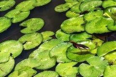 Ερωδιός & x28 λιμνών Javan Ardeola speciosa& x29  Μεταξύ των φύλλων Lilypad Στοκ Εικόνα