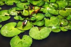 Ερωδιός & x28 λιμνών Javan Ardeola speciosa& x29  Μεταξύ των φύλλων Lilypad Στοκ Φωτογραφίες