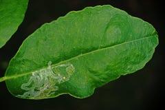 Εσπεριδοειδή leafminer παράσιτο εντόμων Στοκ Εικόνες
