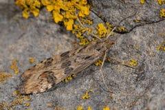 Εσπευσμένος καπλαμάς (noctuella Nomophila), ένας σκώρος μικροϋπολογιστών στην οικογένεια Crambidae Στοκ Εικόνες