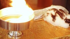 Εστίαση με τα κουνέλια απόθεμα βίντεο