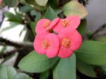 Εστίαση λουλουδιών Euphorbiaceae Στοκ Φωτογραφία