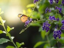 Εστίαση που βλασταίνεται μιας πεταλούδας που στέκεται σε ένα λουλούδι duranta με το simu Στοκ Εικόνα
