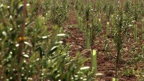 Εστίαση ραφιών από τα κλαδί ελιάς στα δέντρα νηπίων στον τομέα ελιών απόθεμα βίντεο