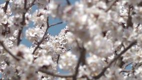 Εστίαση στα άσπρα άνθη στο Ουζμπεκιστάν απόθεμα βίντεο