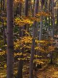 Εσωτερικά δάση του εθνικού πάρκου Djerdap ηλιόλουστο ημερησίως πτώσης Στοκ εικόνες με δικαίωμα ελεύθερης χρήσης
