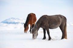 Εσωτερικά άλογα Στοκ εικόνα με δικαίωμα ελεύθερης χρήσης