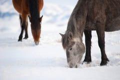 Εσωτερικά άλογα Στοκ Φωτογραφίες