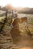 Εσωτερικά βοοειδή Στοκ φωτογραφία με δικαίωμα ελεύθερης χρήσης