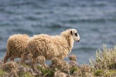 Εσωτερικά βουνά sheeep ν στο ελληνικό μεσογειακό νησί Κρήτη Στοκ φωτογραφία με δικαίωμα ελεύθερης χρήσης