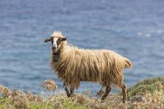 Εσωτερικά βουνά sheeep ν στο ελληνικό μεσογειακό νησί Κρήτη Στοκ εικόνες με δικαίωμα ελεύθερης χρήσης