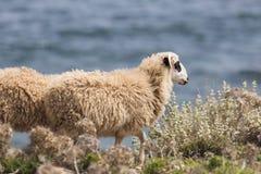 Εσωτερικά βουνά sheeep ν στο ελληνικό μεσογειακό νησί Κρήτη Στοκ εικόνα με δικαίωμα ελεύθερης χρήσης