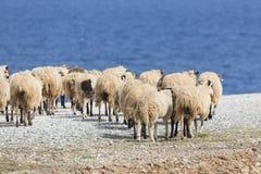Εσωτερικά βουνά sheeep ν στο ελληνικό μεσογειακό νησί Κρήτη Στοκ φωτογραφίες με δικαίωμα ελεύθερης χρήσης