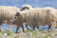 Εσωτερικά βουνά sheeep ν στο ελληνικό μεσογειακό νησί Κρήτη Στοκ Εικόνα