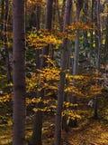 Εσωτερικά δάση του εθνικού πάρκου Djerdap στο βουνό Miroc ηλιόλουστο ημερησίως πτώσης Στοκ φωτογραφία με δικαίωμα ελεύθερης χρήσης