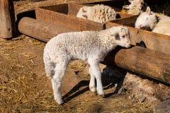 Εσωτερικά πρόβατα αρνιών άνοιξη Στοκ εικόνα με δικαίωμα ελεύθερης χρήσης