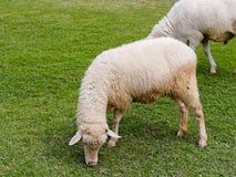 Εσωτερικά πρόβατα κατά τη βοσκή ή που τρώνε την πράσινη χλόη στο λιβάδι ή το λιβάδι σε ένα αγρόκτημα Στοκ Φωτογραφίες