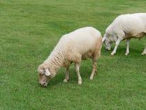 Εσωτερικά πρόβατα κατά τη βοσκή ή που τρώνε την πράσινη χλόη στο λιβάδι ή το λιβάδι σε ένα αγρόκτημα Στοκ φωτογραφία με δικαίωμα ελεύθερης χρήσης