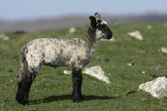 Εσωτερικά πρόβατα Στοκ φωτογραφία με δικαίωμα ελεύθερης χρήσης