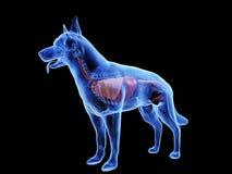 Εσωτερικά όργανα σκυλιών απεικόνιση αποθεμάτων