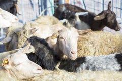 Εσωτερικά sheeps στο sheepfold Στοκ Εικόνες