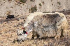 Εσωτερικά yak στα βουνά του Ιμαλαίαυ Στοκ Εικόνες