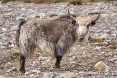 Εσωτερικά yak στα βουνά του Ιμαλαίαυ Στοκ εικόνες με δικαίωμα ελεύθερης χρήσης