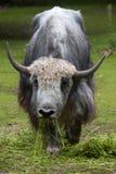 Εσωτερικά yak Bos grunniens Στοκ Φωτογραφία