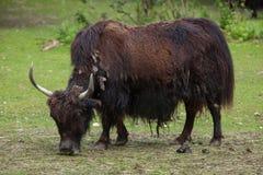 Εσωτερικά yak Bos grunniens Στοκ Εικόνα